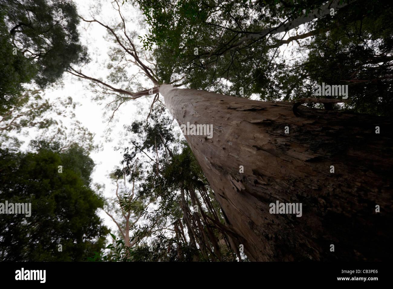 Eucalyptus regnans tree towers above canopy, Peoples Park, Strahan, Tasmania, Australia - Stock Image
