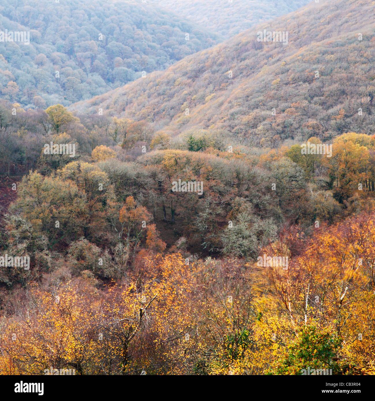 Horner Wood, Autumn. Exmoor National Park. Somerset. England. UK. - Stock Image