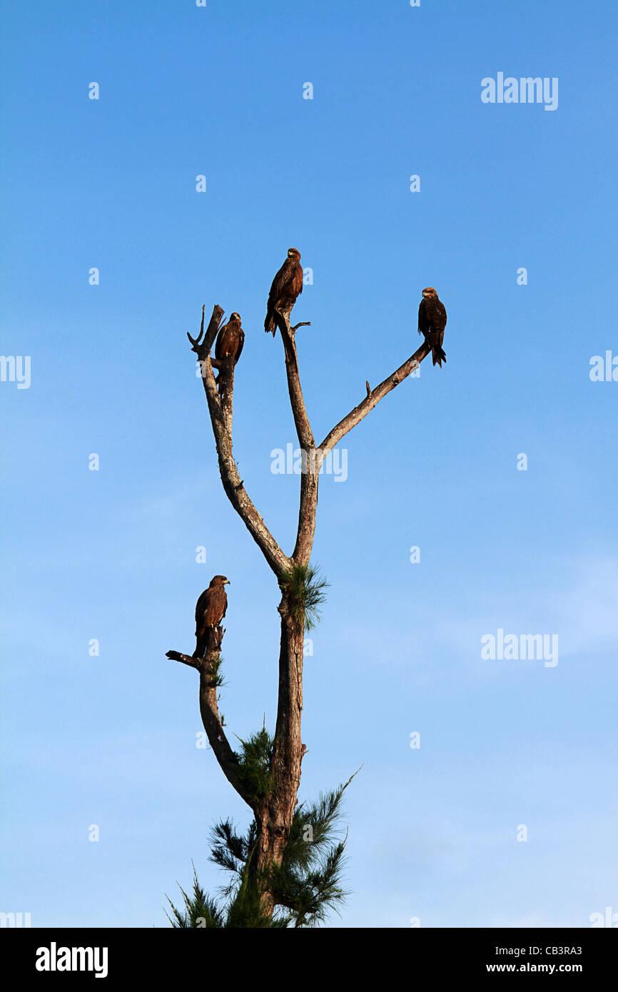 Kerala Eagles Stock Photo