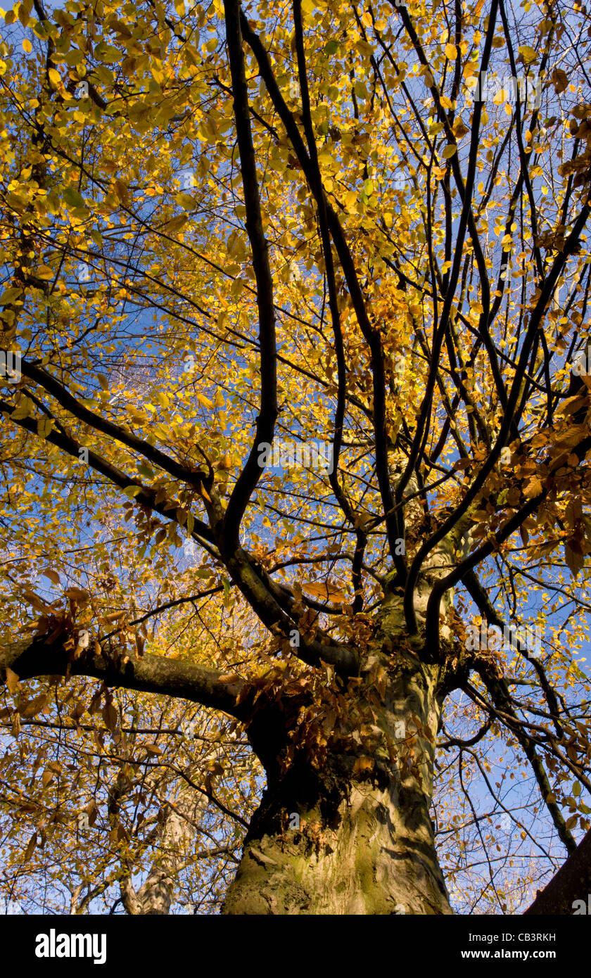 Old hornbeams (Carpinus betulus) in autumn in Great Wood, Plantlife Reserve at Ranscombe Farm, Kent. - Stock Image