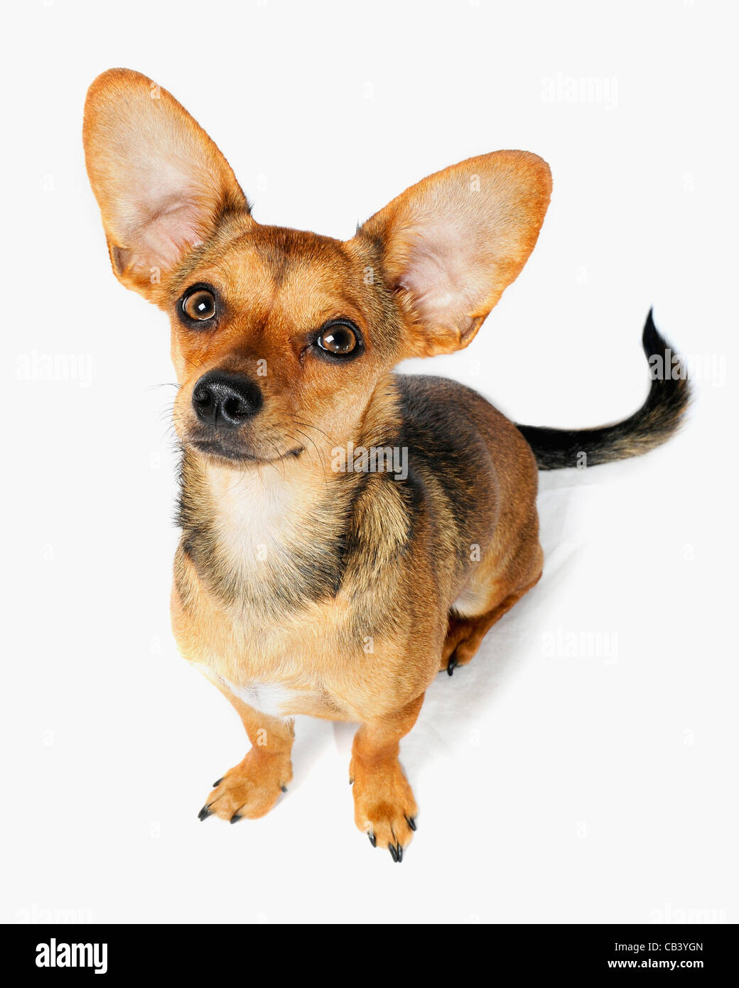 High Angle View Of A Chiweenie Dog Crossbreed Chihuahua And Dachshund