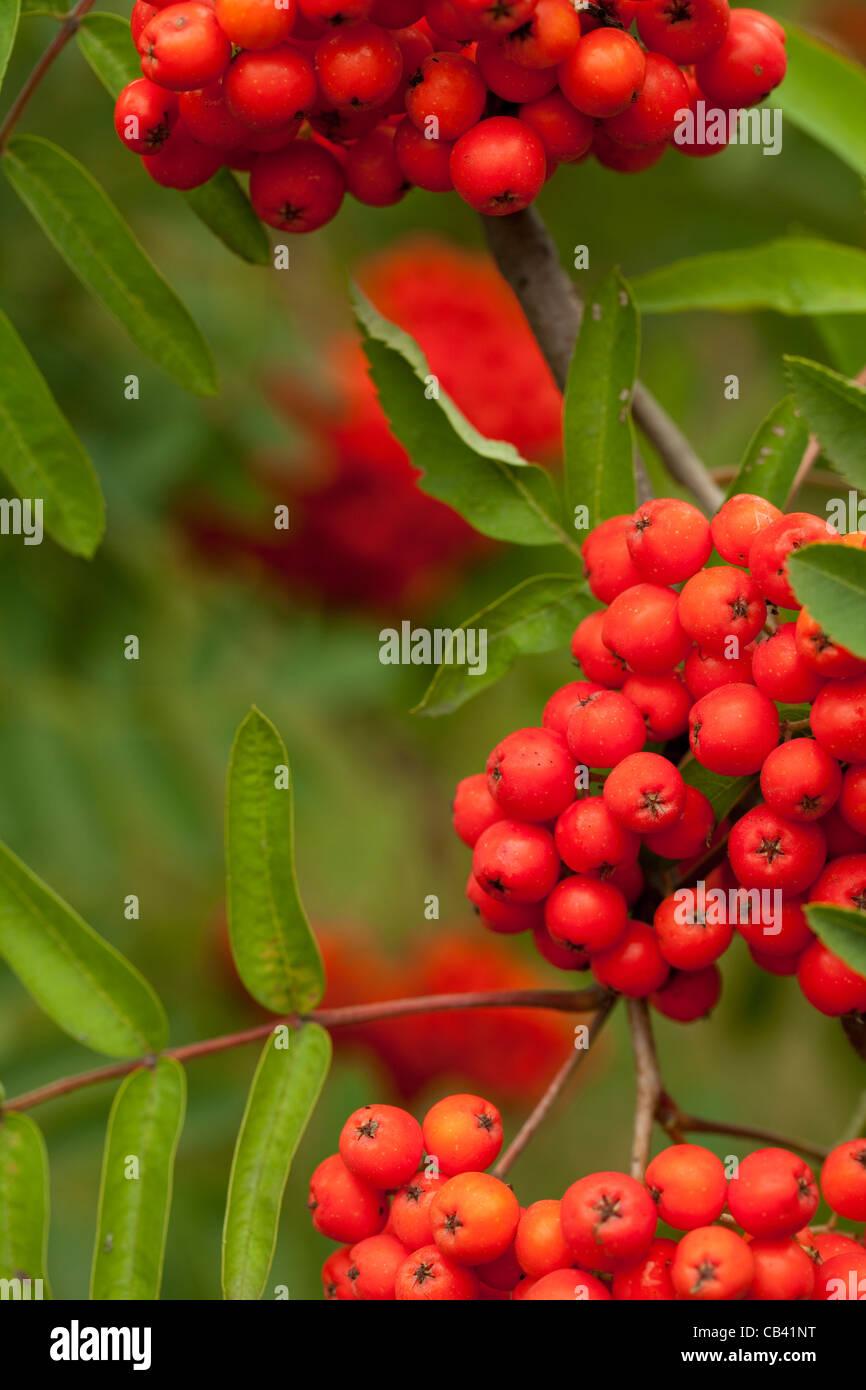 decorative red fruit of a rowan tree - Stock Image