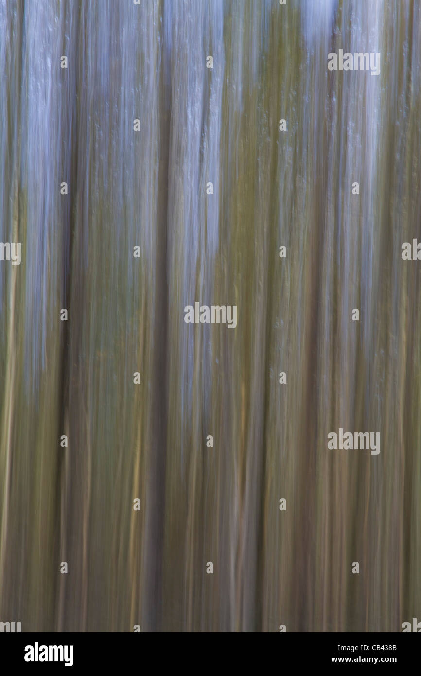 An abstract photograph of trees made by deliberately blurring the shot with vertical movement to create an impressionist - Stock Image