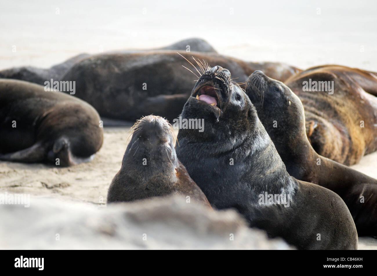 South American sea lions Stock Photo