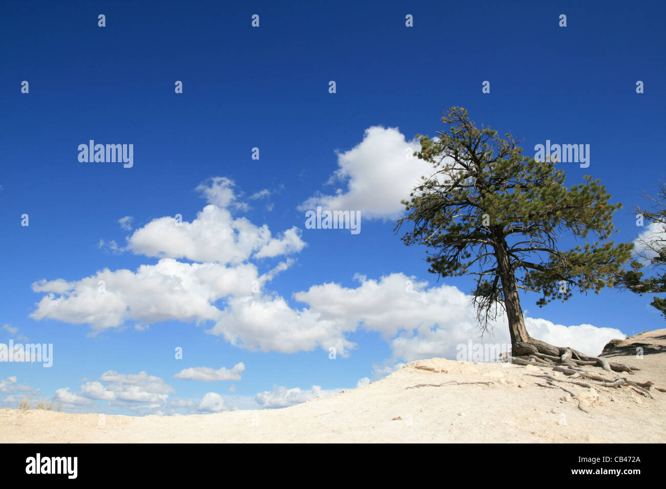 pine tree on the edge of the world with blue sky and clouds in the background - Stock Image