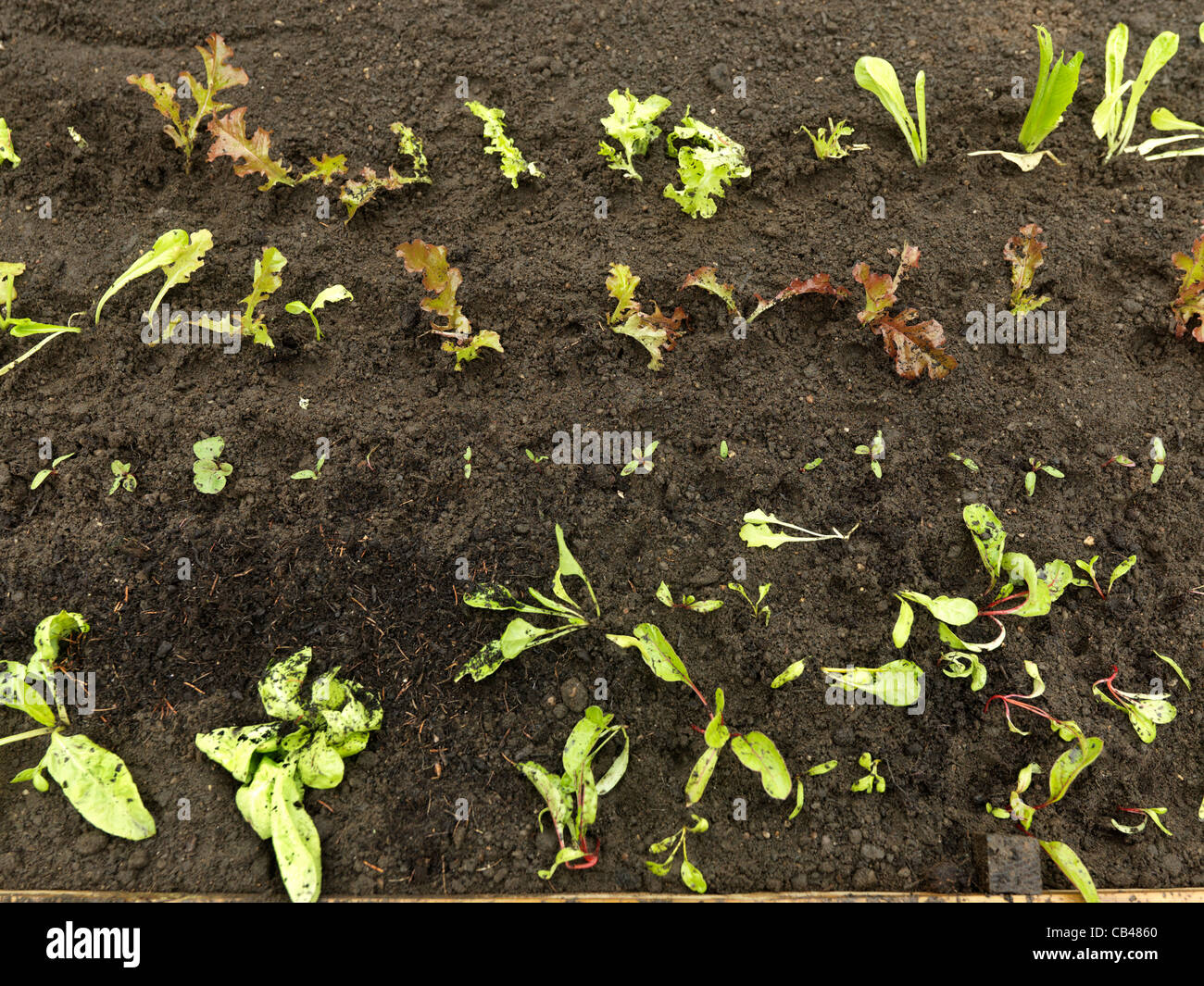 Newly Transplanted Lettuce Spinach & Chard in a New Raised Bed In ...