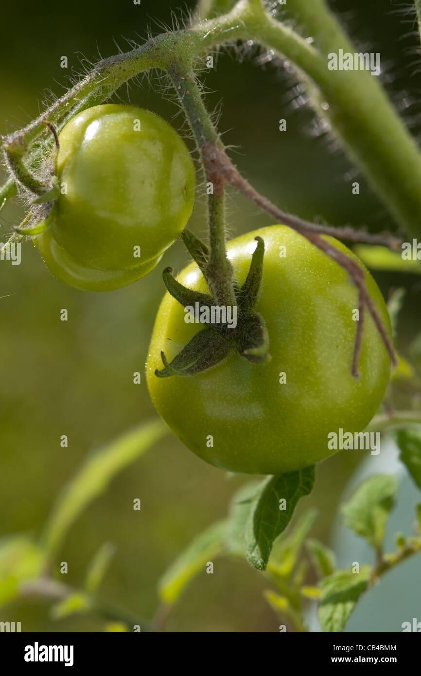 Home grown tomatoes Britain UK - Stock Image