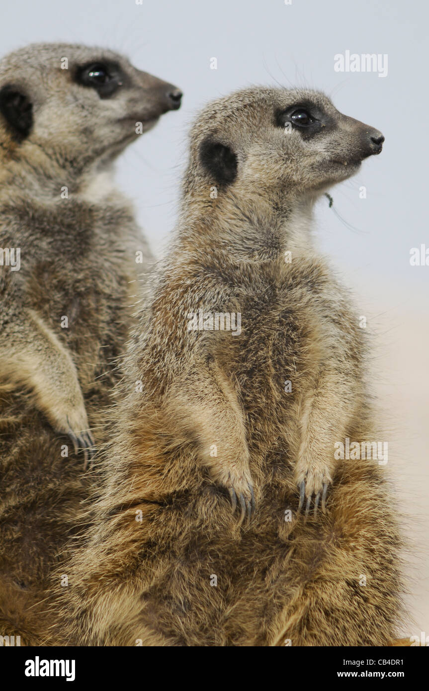 A close-up view of two meerkats looking to the horizon - Stock Image