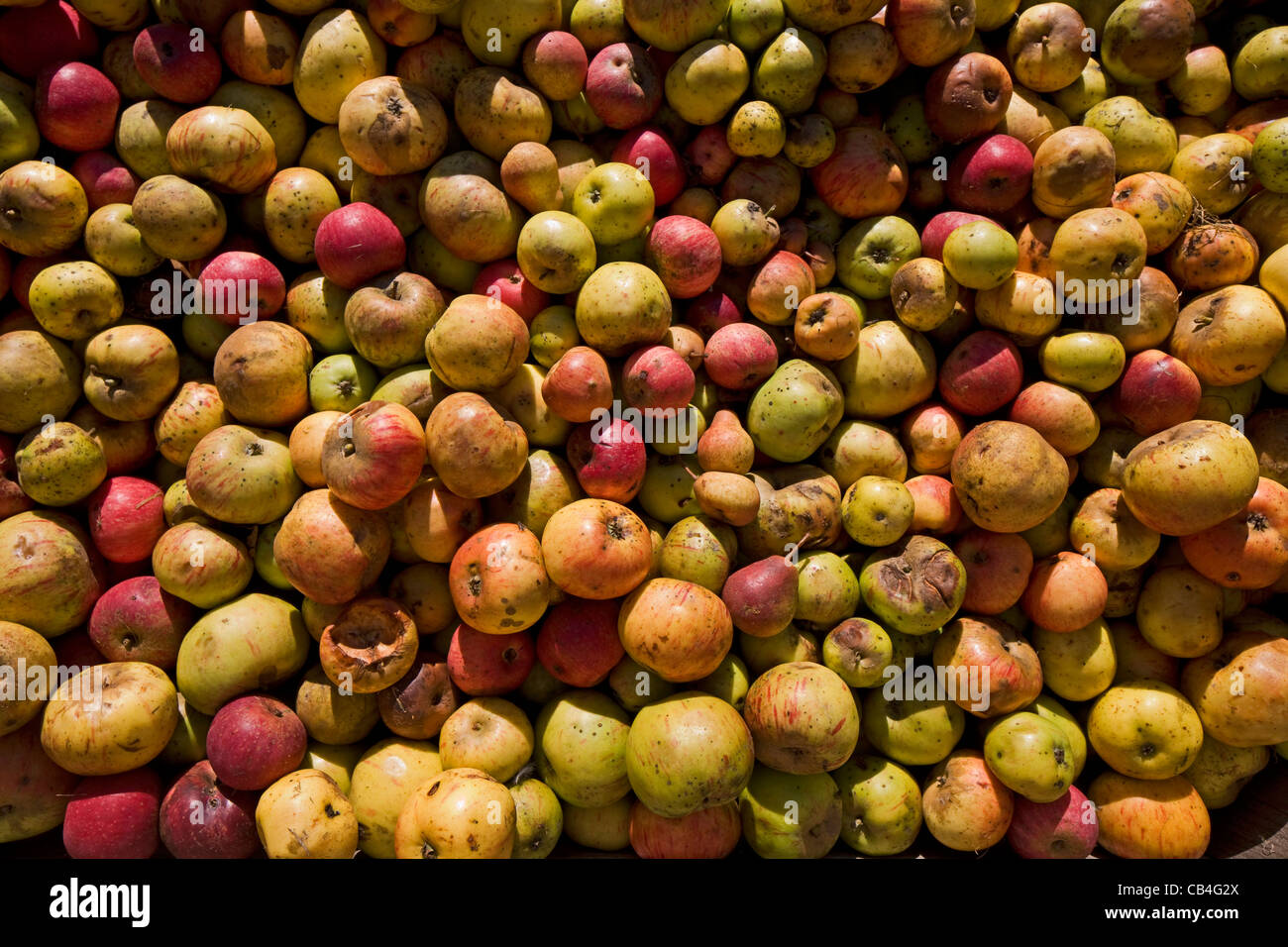 Pile of harvested fallen apples from orchard for the production of fruit juice, Hesbaye, Belgium - Stock Image