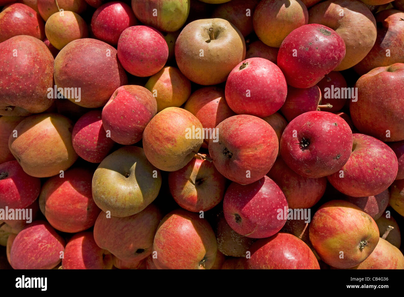 Pile of harvested fallen red apples from orchard for the production of fruit juice, Hesbaye, Belgium - Stock Image