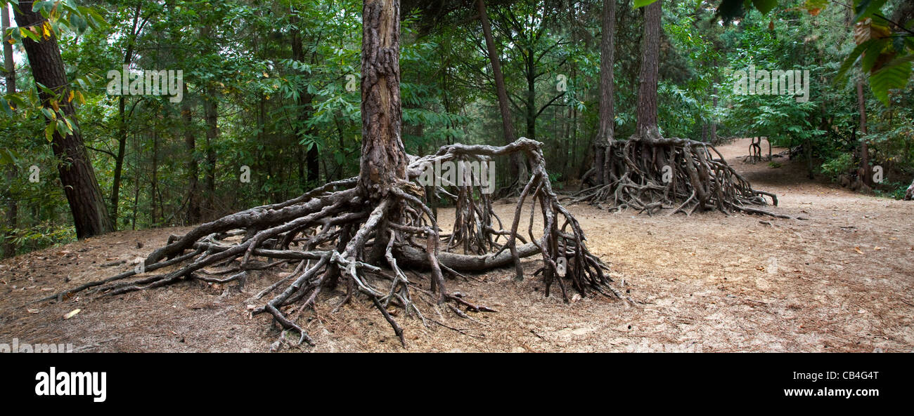 Exposed roots of pine trees due to soil erosion in forest at Kasterlee, Belgium - Stock Image