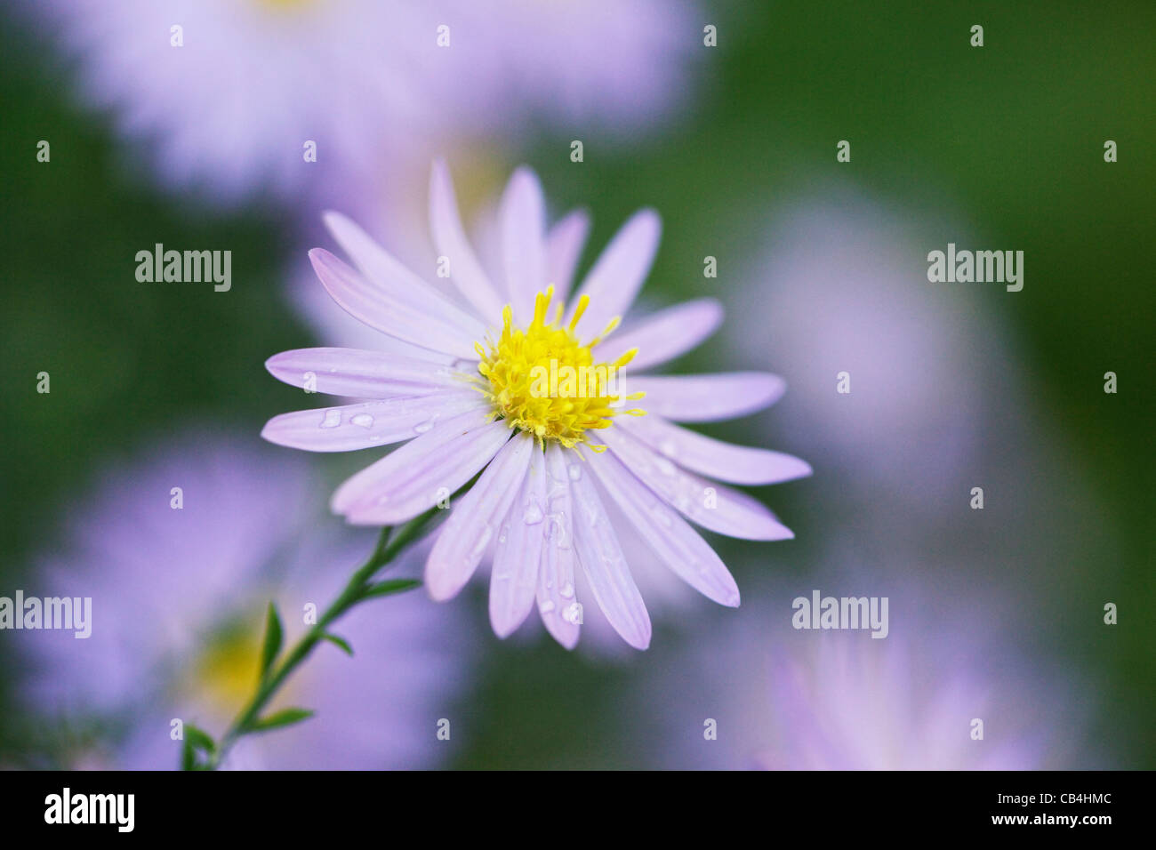 Blue Aster Flower Stock Photos Blue Aster Flower Stock Images Alamy