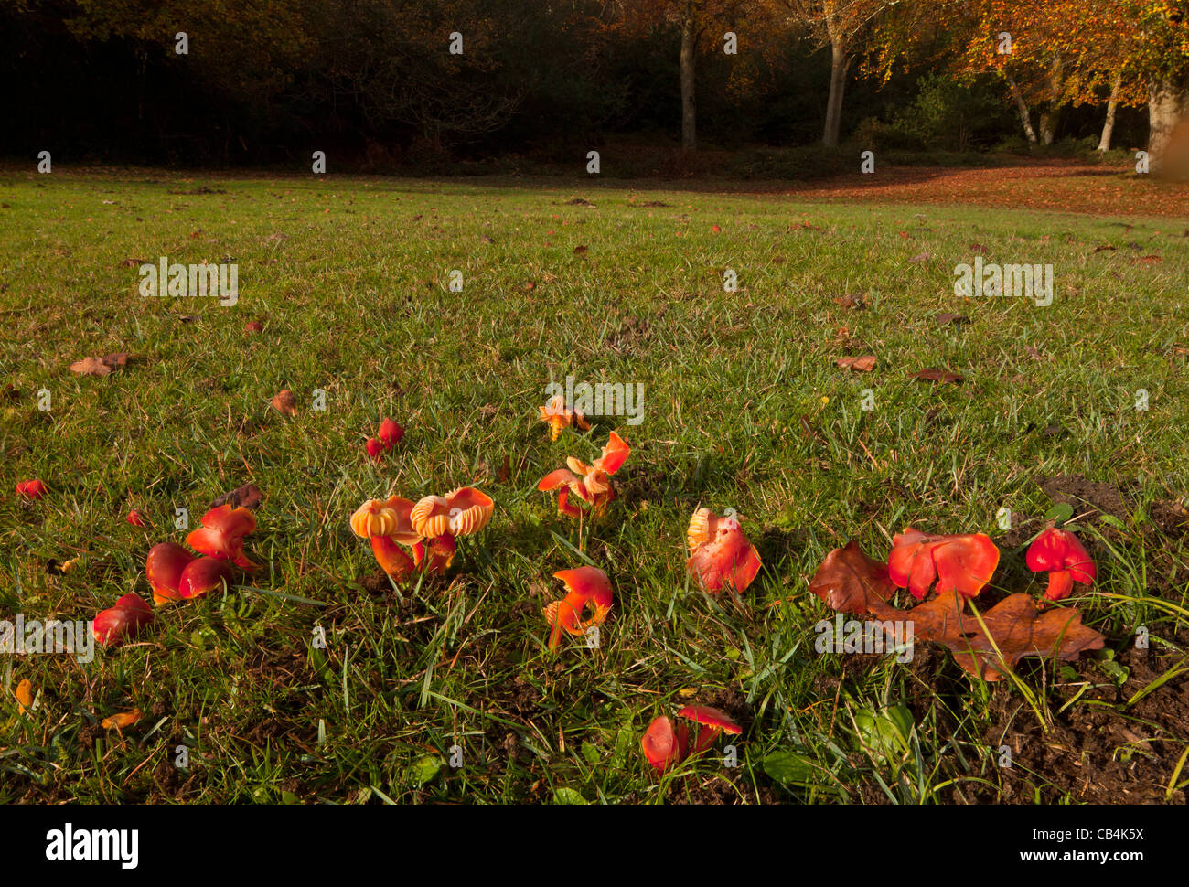 Scarlet waxcaps, Hygrocybe coccinea, in old grazed grassland at Emery Down, New Forest, Hants. - Stock Image