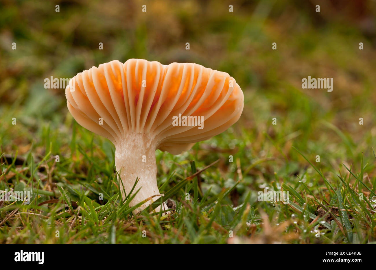 Meadow Waxcap, Hygrocybe pratensis, - edible species - in old grazed grassland at Emery Down, New Forest, Hants. - Stock Image