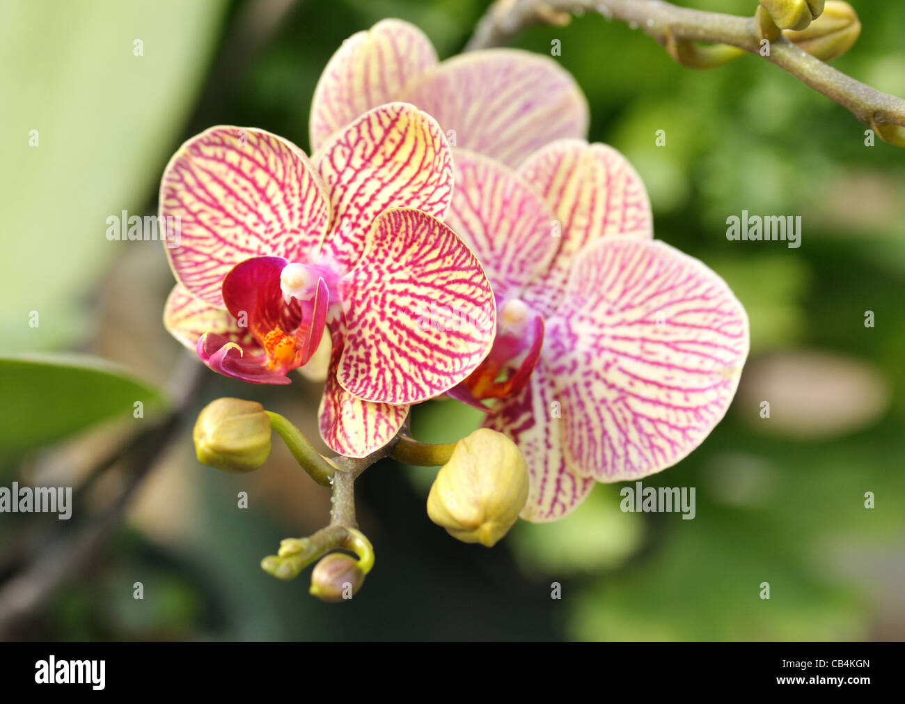 Beautiful pink yellow orchid flowers stock photos beautiful pink pink and yellow beautiful orchid flowers and buds stock image izmirmasajfo