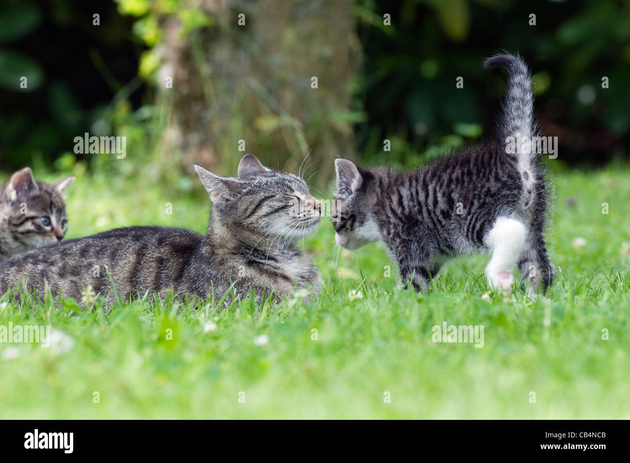 Cat and Kitten, greeting each other in garden, Lower Saxony, Germany - Stock Image