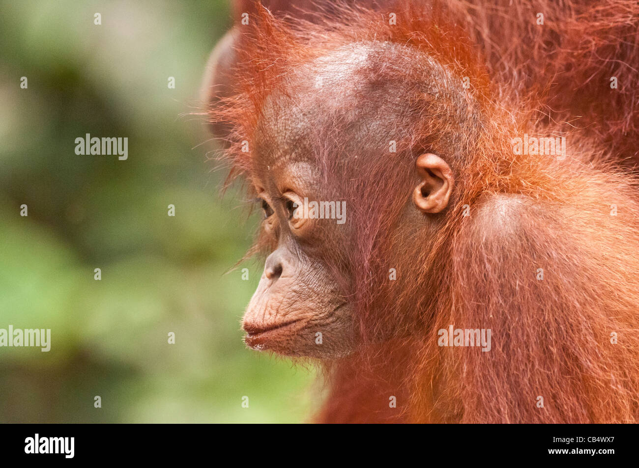 Infant Bornean orangutan with puckered lips and defocused foliage behind. Horizontal format with copyspace. - Stock Image