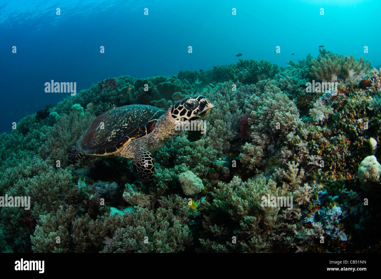 Hawksbill turtle, Eretmochelys imbricata, and soft coral, Raja Ampat, West Papua, Indonesia, Pacific Ocean - Stock Image