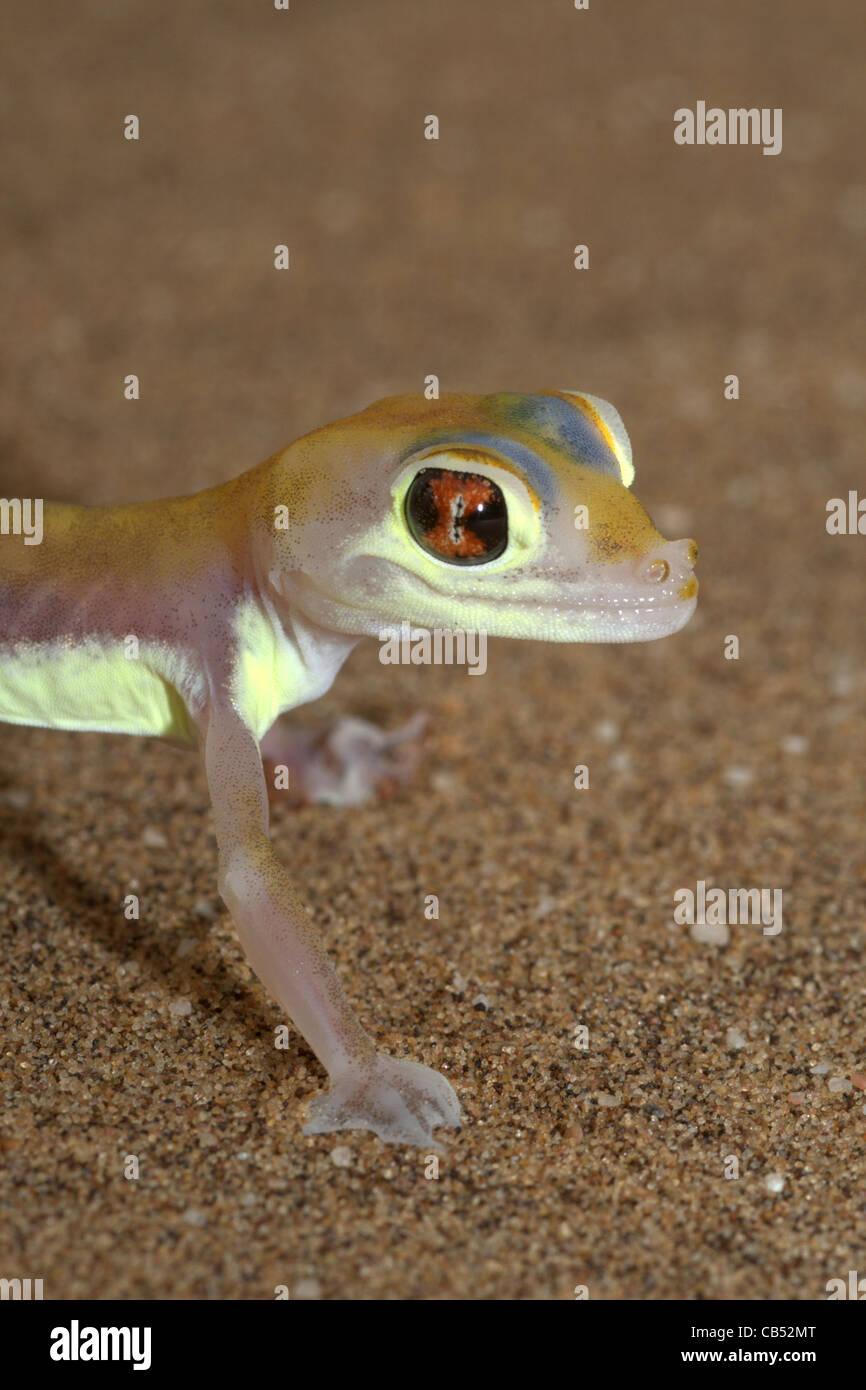 Pachydactylus rangei, Palmato Gecko, Web-footed Gecko, Namibia Stock Photo