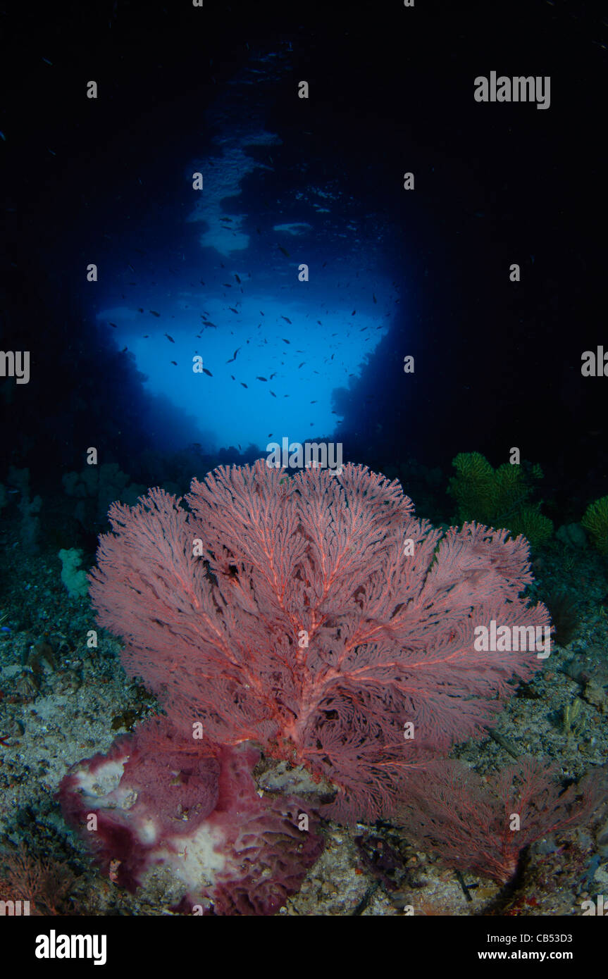 A gorgonian seafan in front of a blue hole, Subergorgonia sp., Raja Ampat, West Papua, Indonesia, Pacific Ocean - Stock Image