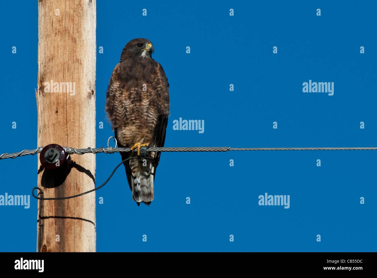 Swainson's Hawk Buteo swainsoni dark phase Arapaho National Wildlife Refuge Colorado USA - Stock Image