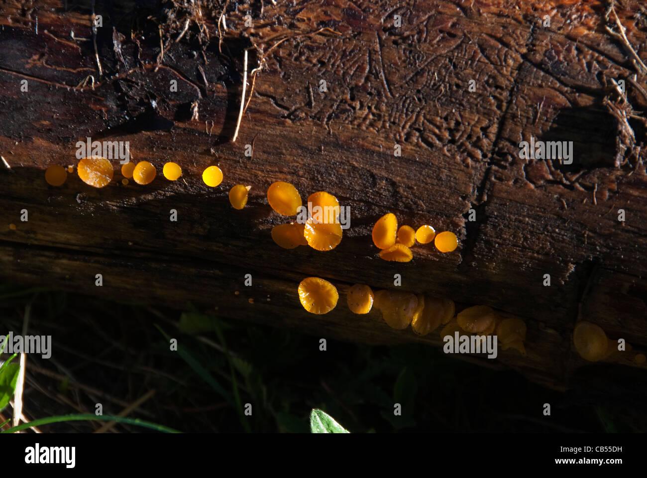 Witch's Butter Tremella mesenterica South San Juan Wilderness Colorado USA - Stock Image
