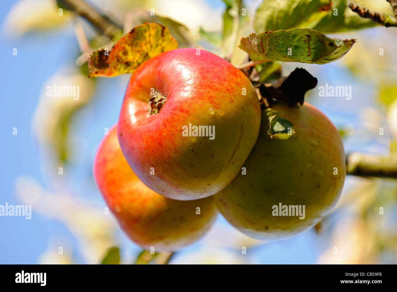 Three red ripe English apples ready to be picked. - Stock Image
