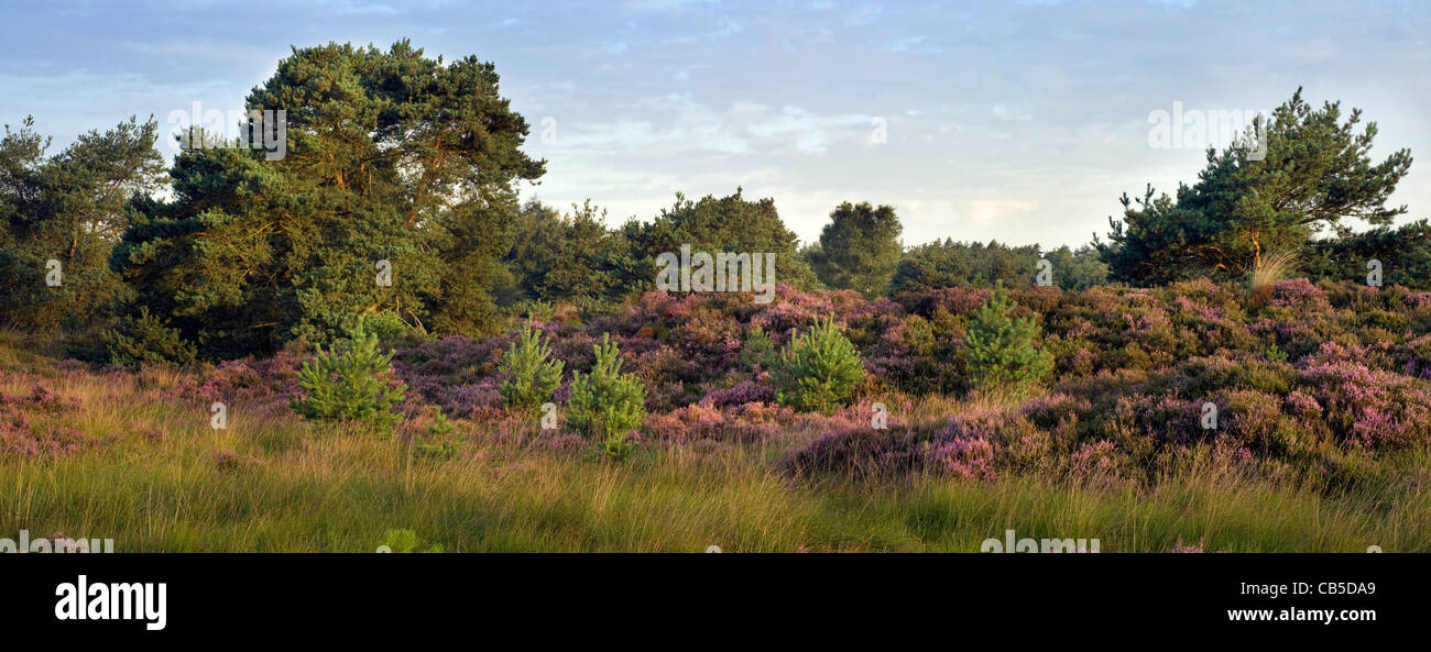 The nature park De Zoom - Kalmthoutse Heide with heather blooming in summer, Belgium / the Netherlands Stock Photo