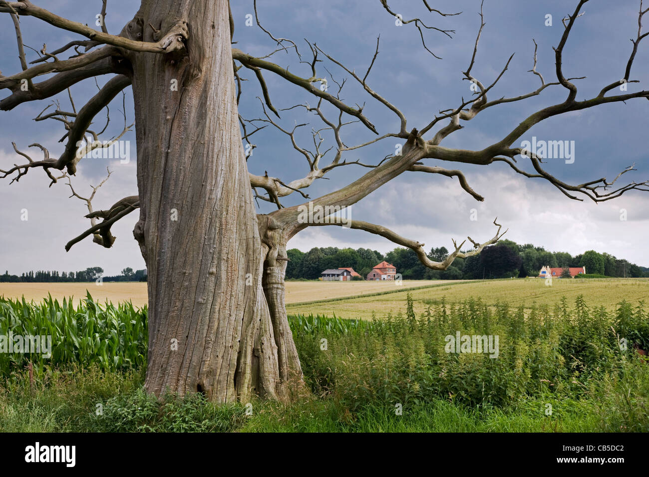 Creepy trunk and branches of dead sweet chestnut / marron tree (Castanea sativa) in field - Stock Image