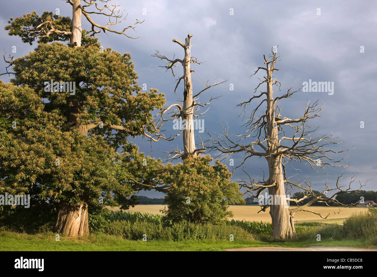 Creepy trunks and branches of dead sweet chestnut / Marron tree (Castanea sativa) in field Stock Photo