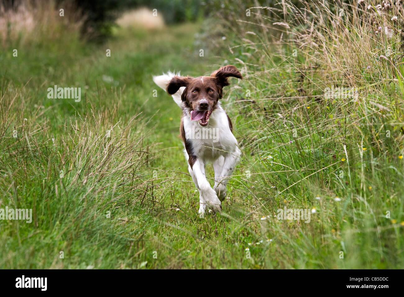 Drentsche Patrijshond / Dutch Partridge Dog / Drent spaniel type hunting dog running in field, the Netherlands - Stock Image