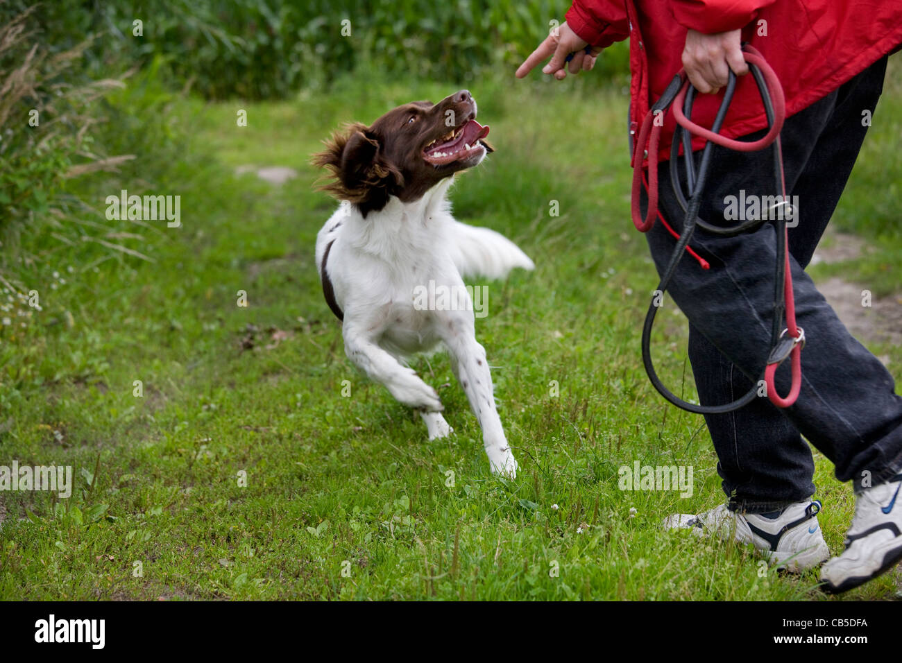 Drentsche Patrijshond / Dutch Partridge Dog / Drent spaniel type hunting dog and owner with leash in field, the - Stock Image
