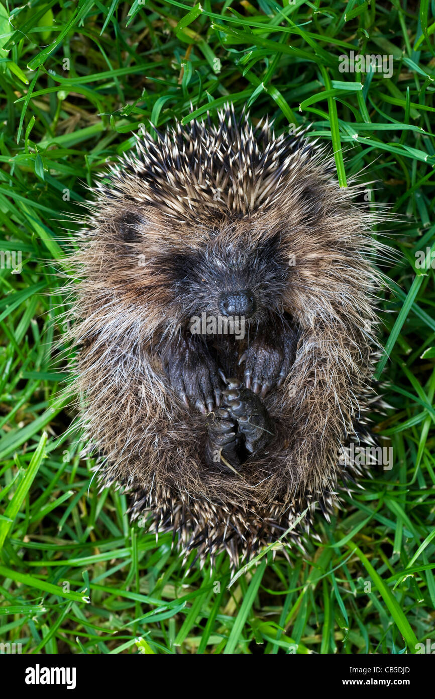 Curled up Common European hedgehog (Erinaceus europaeus), Belgium - Stock Image