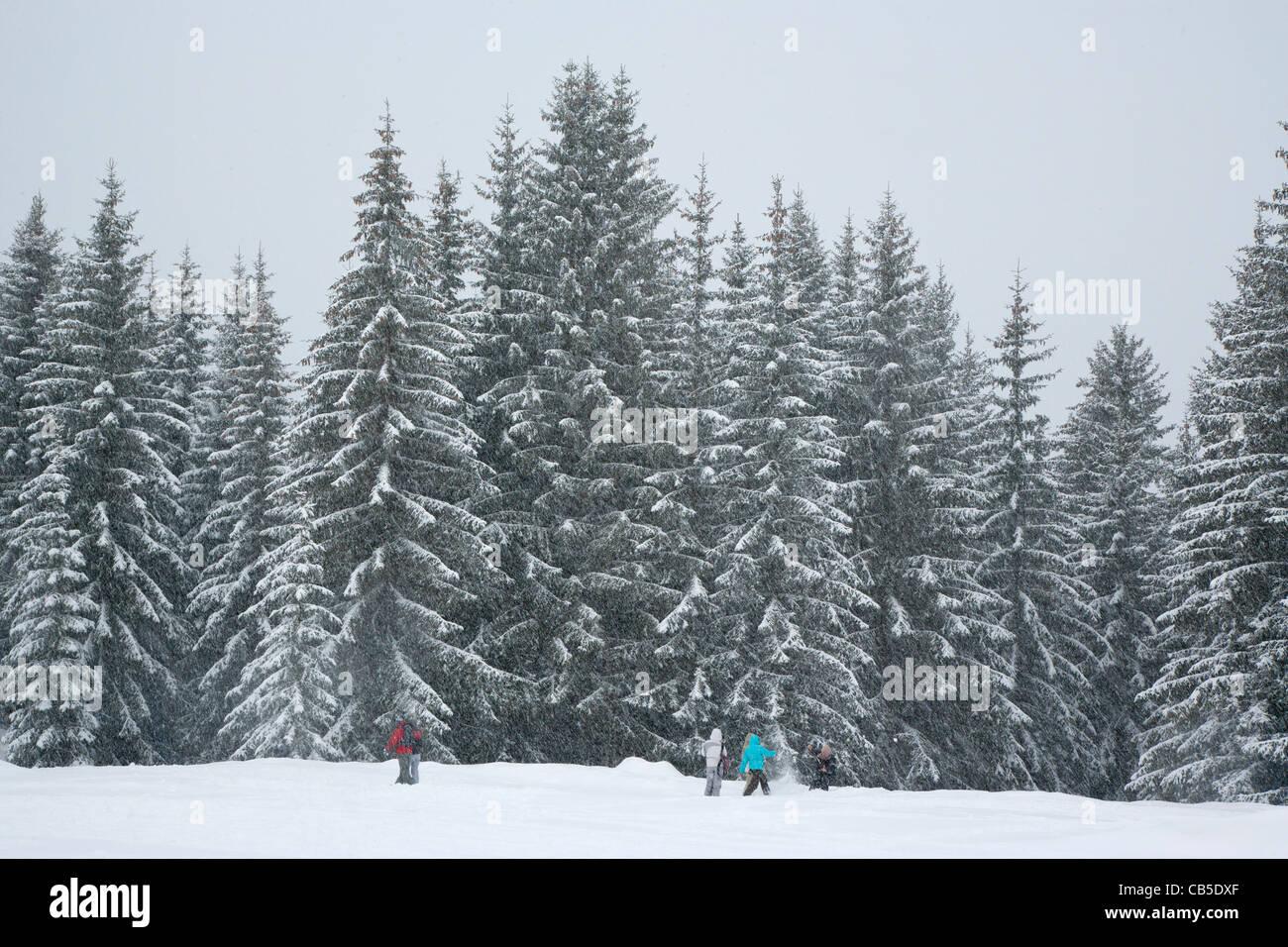 Fir trees and snow, Les Gets, Haute Savoie, Rhône-Alpes, France - Stock Image