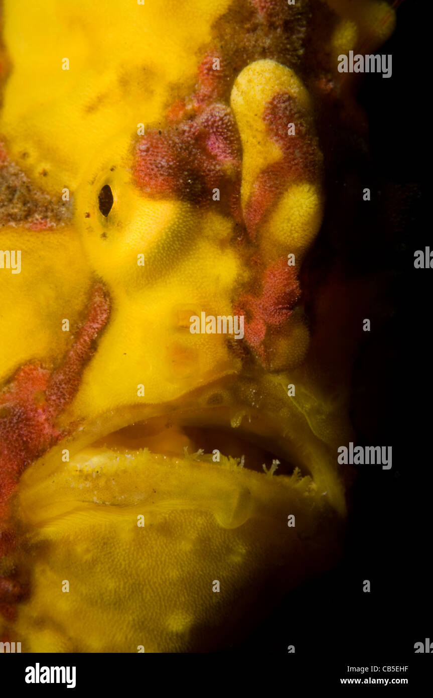 Warty frogfish portrait, Antennarius maculatus, Lembeh Strait, Manado, North Sulawesi, Indonesia, Pacific Ocean - Stock Image