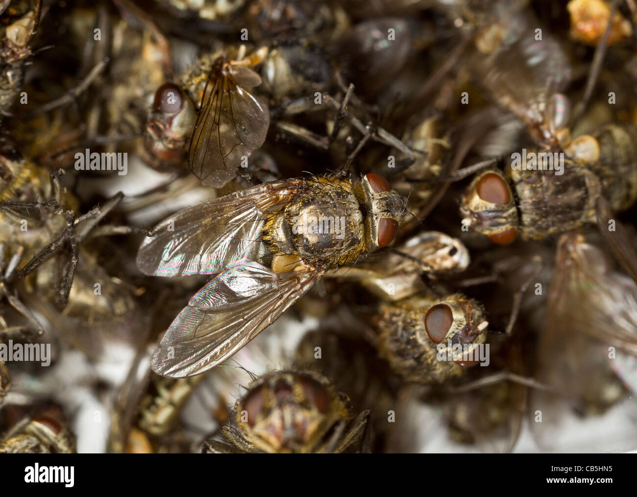 Killer Fly Stock Photos Images Alamy Flytrap Robots Can Hunt And Catch Bugs For Meals Dead Cluster Flies Pollenia Rudis Lying In An Electric Trap