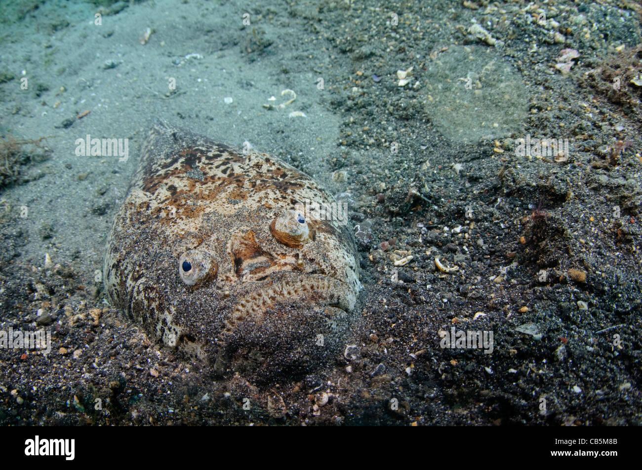 Stargazer portrait, Uranoscopus sp., Lembeh Strait, Bitung, Manado, North Sulawesi, Indonesia, Pacific Ocean - Stock Image