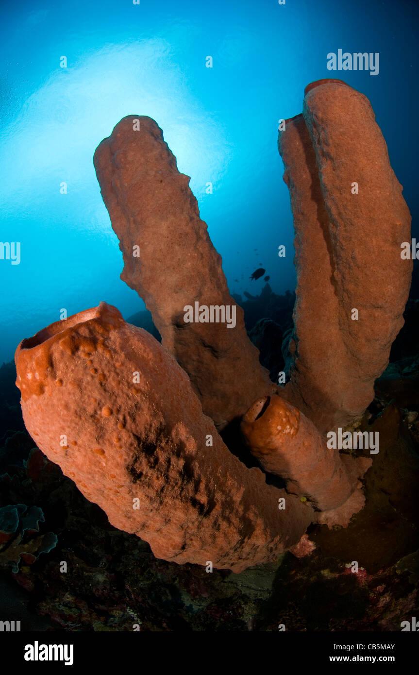 Giant tube sponges, Lembeh Strait, Manado, North Sulawesi, Indonesia, Pacific Ocean - Stock Image