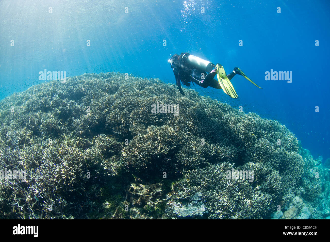 A diver inspects a hard coral garden, Lembeh Strait, North Sulawesi, Indonesia - Stock Image