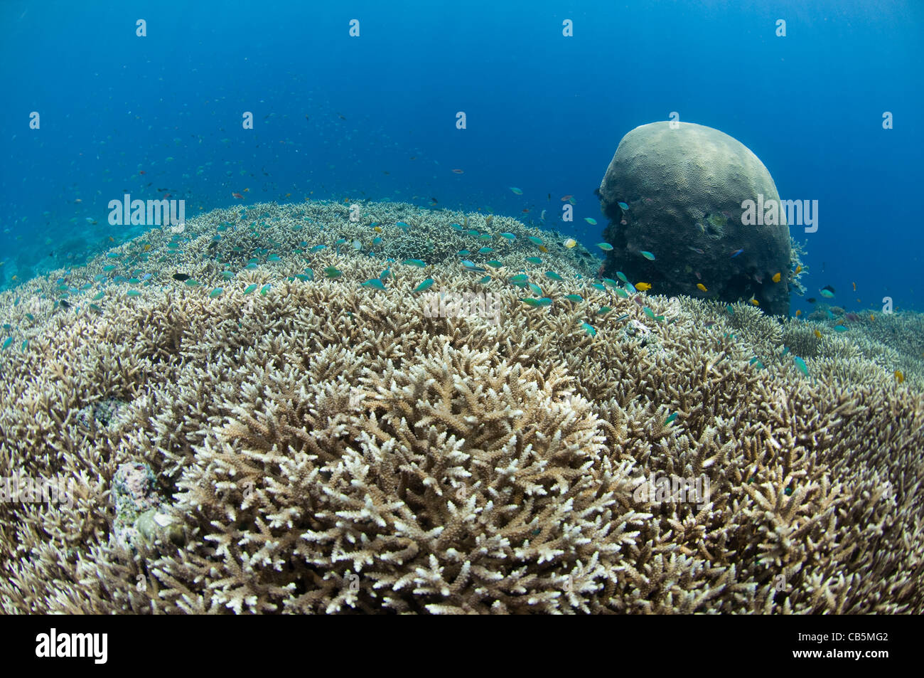 Hard coral garden, with a variety of table, leather, and staghorn corals, Lembeh Strait, North Sulawesi, Indonesia - Stock Image