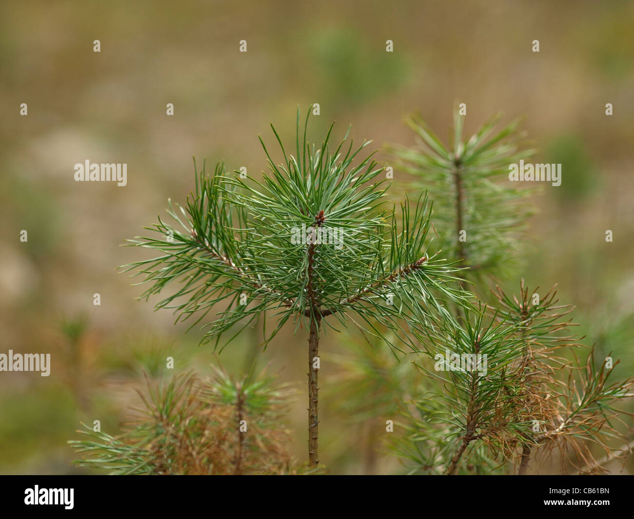 young spruce seedling / junge Kiefern - Stock Image