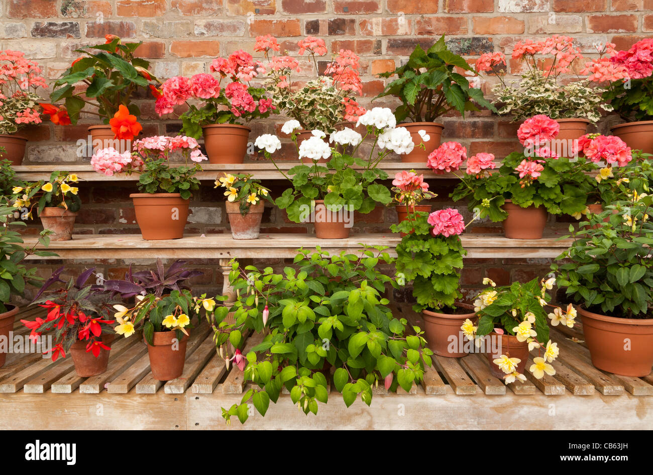 Shelves of potted flowering plants against a red brick wall - Stock Image