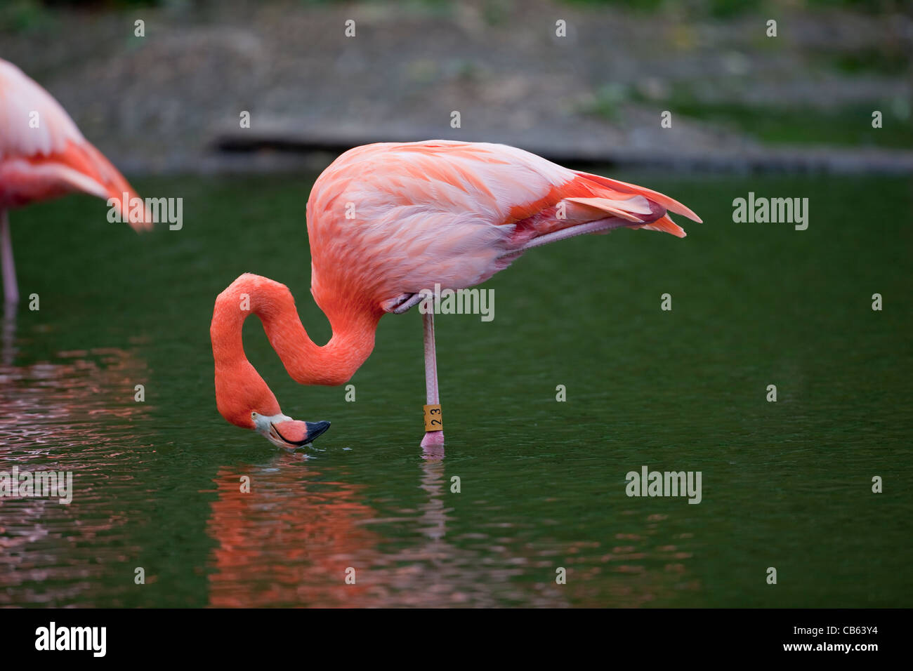 Caribbean or American Flamingo Phoenicopterus ruber  Feeding water surface, standing one leg, resting the other - Stock Image