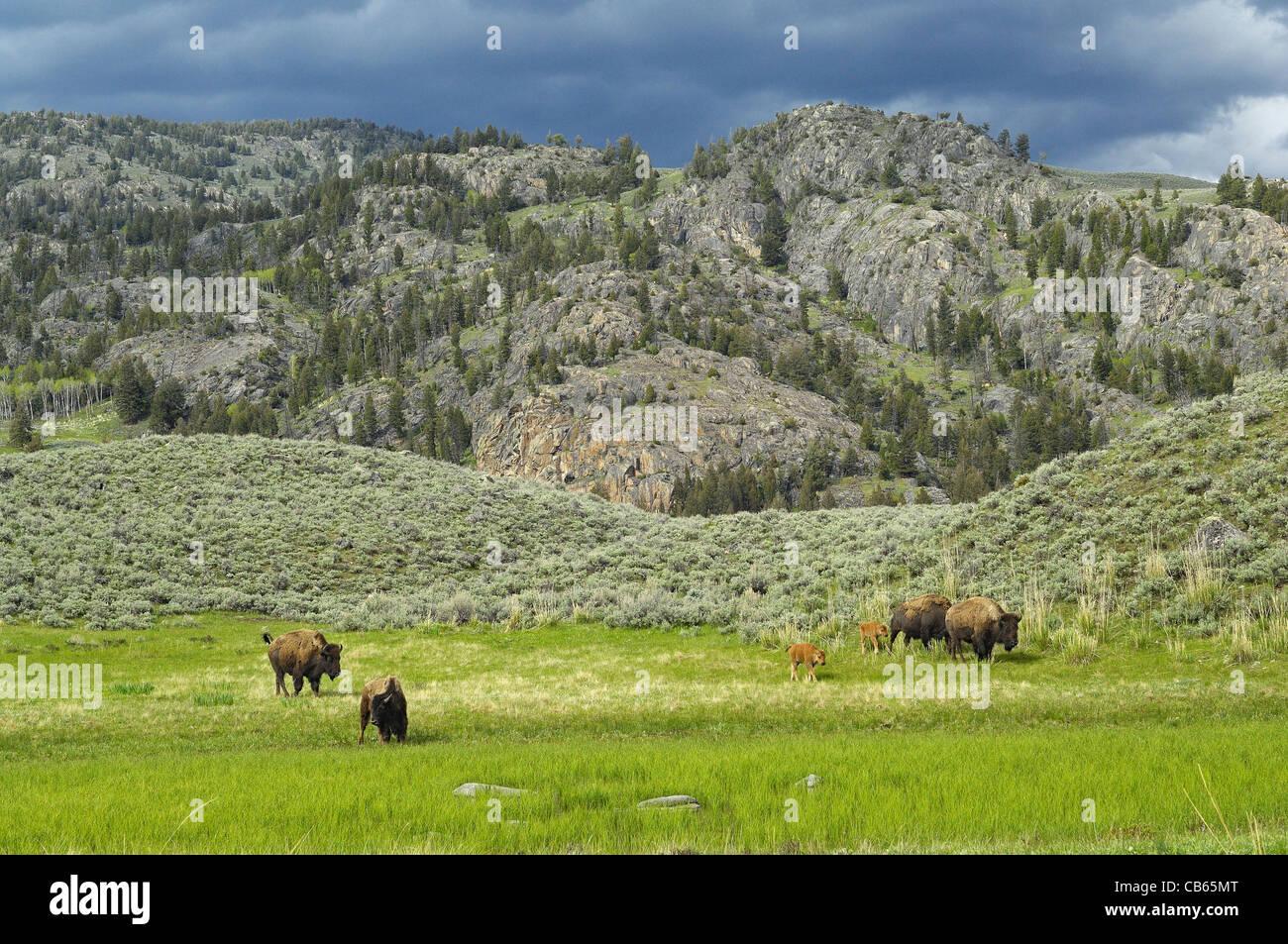 American Buffalo mothers and babies traveling the beautiful Yellowstone wilderness. - Stock Image
