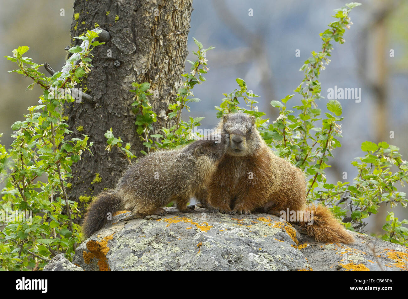 Yellow-bellied Marmot mother with young. - Stock Image