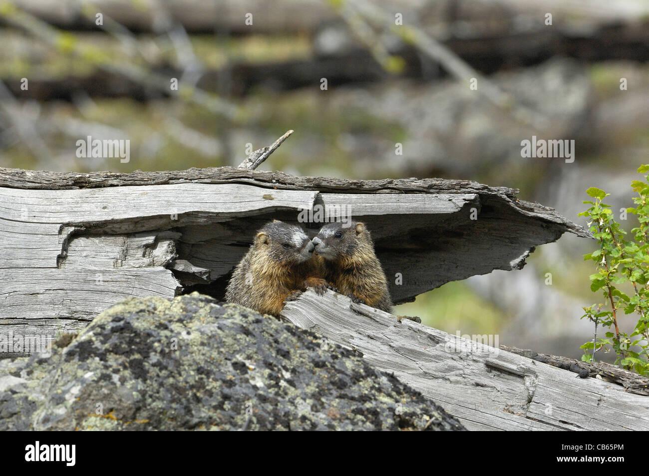 Yellow-bellied Marmot babies kissing. - Stock Image