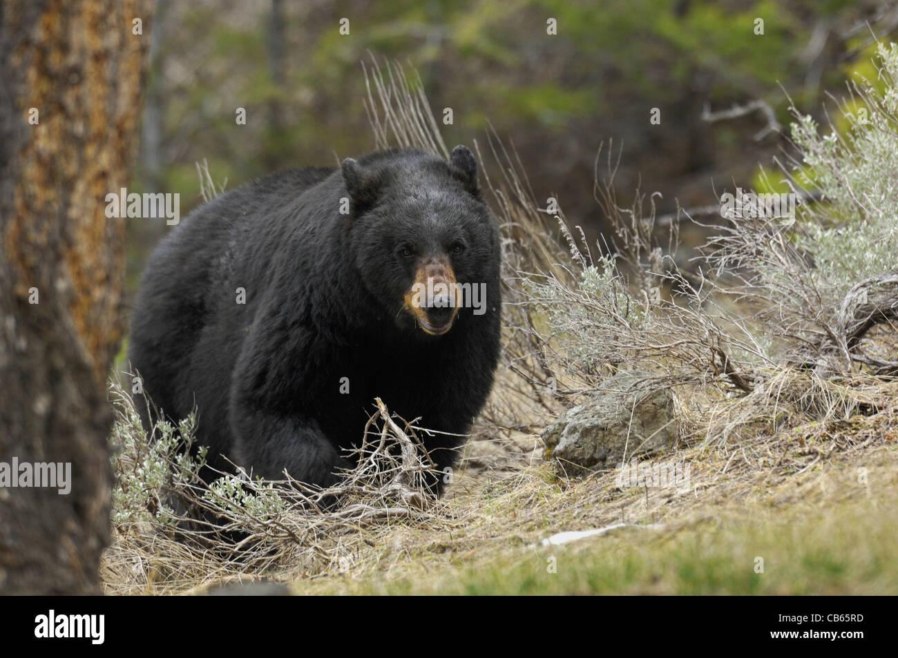 how-big-are-mature-black-bears