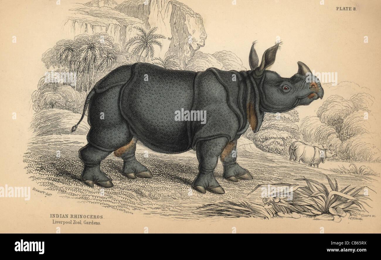 Indian rhinoceros, Rhinoceros unicornis (Rhinoceros indicus), vulnerable. - Stock Image