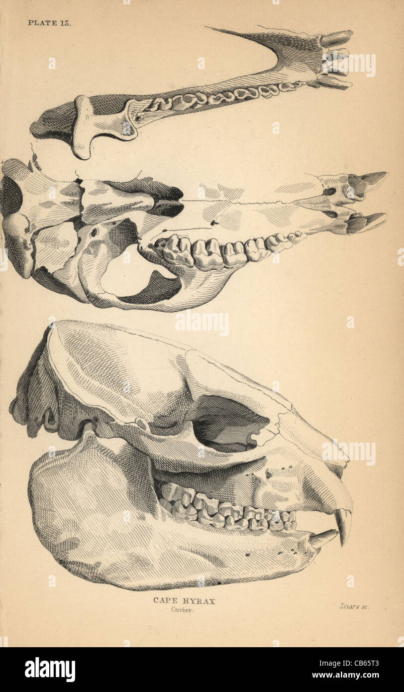 Skull and jaw structure of the cape hyrax, Procavia capensis. - Stock Image