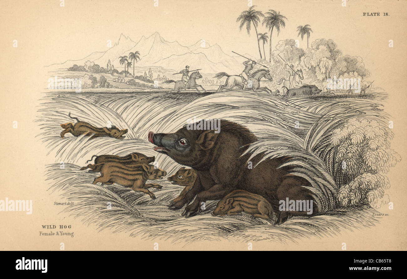 Wild hog, Sus scrofa, female and young, fleeing hunters with spears on horseback. - Stock Image